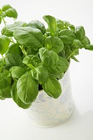 Studio shot of a Basil Plant