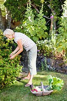 mature woman picking raspberries
