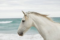 White horse on the beach