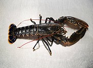 A lobster on a stainless steel surface