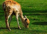 Browsing young Fallow Deer Dama dama
