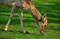 Browsing female Fallow Deer Dama dama