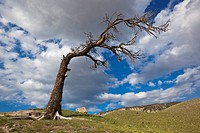 USA, Wyoming, Yellowstone National Park, Dead tree in landscape