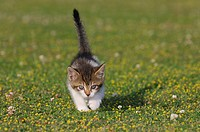 Germany, Bavaria, Kitten playing in meadow