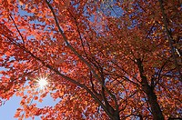 USA, New England, Maple tree, autumn colours
