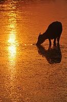 Angkor (Cambodia): water buffalo at sunset