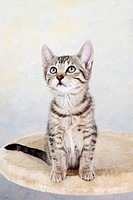 Domestic cat, kitten looking up, portrait