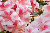 Azalea Rhododendron simsii 'Nancy Mary'