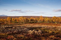 Birch trees at autumn