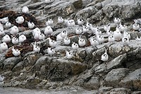 Kaikoura, terns sitting on rock in rain