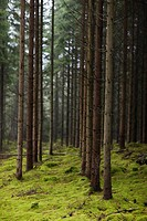 Scandinavian Peninsula, Sweden, Skåne, View coniferous trees in forest