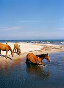 Horse bathing in the sea, Sweden.