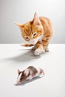 Kitten chasing mouse