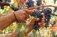 Hands Picking Grapes