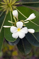 White frangipani flowers  Scientific name: Plumeria obtusa  Langkawi, Malaysia