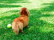 Close_up of a Dachshund playing with a tennis ball on grass