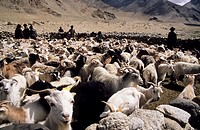 A flock of goats in the Ladakh, India