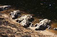 Reptiles , Mugger or marsh crocodile crocodylus palustris