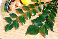 Indian spices , curry leaves or bay laurel or sweet bay laurus nobilis