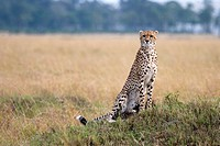 A female cheetah scans the plains for prey in Kenya