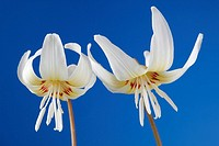 Erythronium californicum 'White Beauty' Dog's-tooth violet, Trout lily  Two flowers against blue background