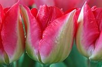 Tulipa 'Lip Gloss' Tulip Triumph Group