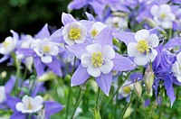 Rocky Mountains columbine Aquilegia caerulea