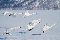 Flock of Whooper swans Cygnus cygnus landing on a frozen lake