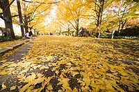 Autumn Colored Gingko Trees