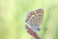 Silver-studded Blue, Plebejus argus on flowering grass  Underwing markings clearly visible  Milovice, Czech Republic