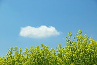 Mustard flowers against blue sky, Biei town, Hokkaido prefecture, Japan