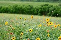 American Daisy yellow flowers green meadow bacground