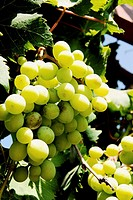 A bunch of green edible grapes on a vine  Summer June 2007