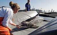 SPAWAR Navy Marine Mammal Programme, San Diego November 2006 Trainers Laura Lewisleft and Laura Yates with 40 year old pregnant female dolphin, Blue  ...