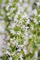 Thyme Thymus argaeus