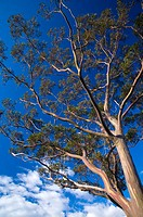 Australia, Tasmania, Cradle Mt - Lake St Clair National Park  A Gumtree growing alongside the Overland Track