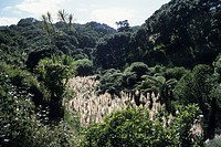 New Zealand Bush and Flax, Bethells Beach, Waitakere Ranges, near Auckland, North Island, New Zealand