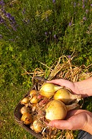 A basket of freshly picked organic onions from a cottage garden in the Uk