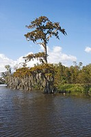 Old cedar trees with spanish moss on the edge of a bayou, Attakapas Landing on Lake Verret, near Pierre Part, Louisiana, USA