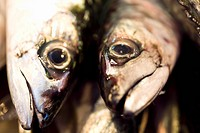 Close up of fish, Caballa Fish, Market hall in Sanlucar de Barrameda, Andalucia, Province Cadiz, Spain