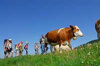 Group of hikers passing pasture with cattle, Bavarian Alps, Upper Bavaria, Bavaria, Germany