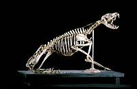 19th century fox skeleton. 19th century skeleton of a fox family Canidae with its mouth open. Photographed in the museum of the National Veterinary Sc...
