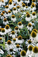 Coneflowers Echinacea purpurea ´White Swan´ flowers in the Summer.