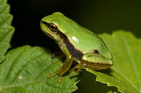 Tree Frog Hyla intermedia. This species is found throughout much of southern and central Italy, returning to water in spring for breeding and then tak...