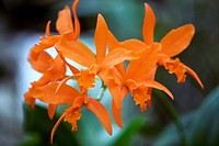 Laeliocattleya Orange Crush ´Sun Glow´ flowers.