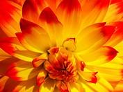 Dahlia ´Procyon´ flower.