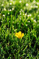 Buttercup Ranunculus sp. flower in dew_covered grass covered.