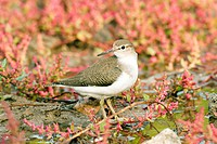 Common sandpiper Actitis hypoleucos. This is a wading bird that inhabits coastal areas. It is a migrant, spending the northern summer in Europe and As...