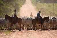 Cortege of Cattle, Peasant of Cowboy, Ox Bos taurus, Miranda, Mato Grosso do Sul, Brazil