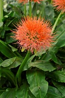 Blood flower Scadoxus multiflorus